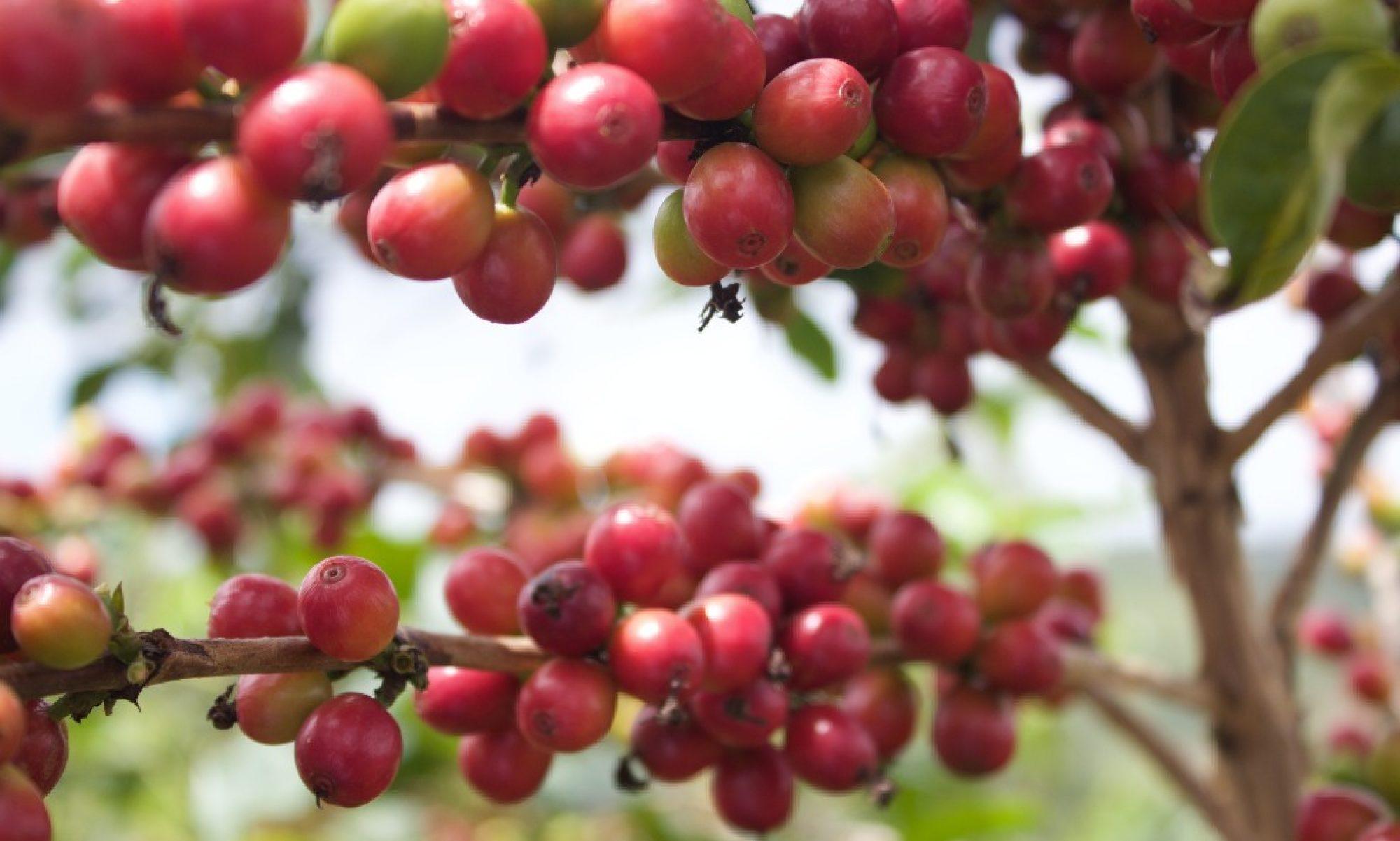 | WELCOME TO JURU COFFEE |  RWANDA